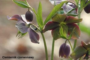 Helleborus_purpurascens
