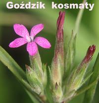 Dianthus_armeria